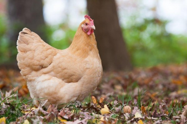 Buff Orpington Baby Chickens For Sale