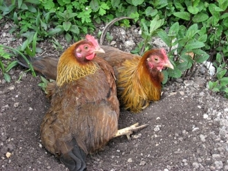 Welsummer Chickens