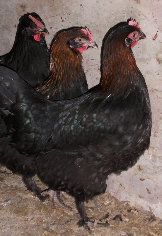 French Black Copper Marans Chickens