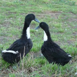 Black Swedish Ducks for Sale
