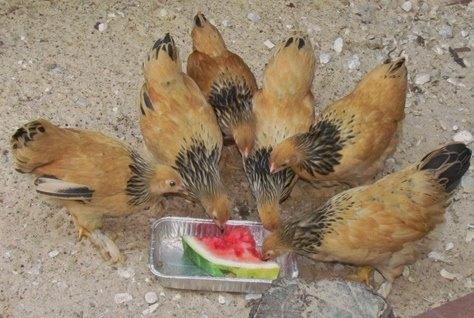 Buff Brahma Bantam Chickens