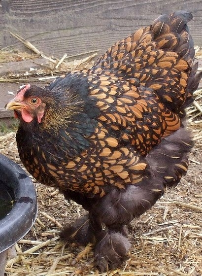 Golden Laced Cochin Chicken
