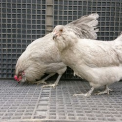 Lavender Ameraucana Chicks for Sale