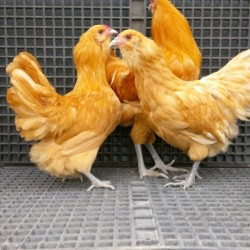 Buff Ameraucana Chicks for Sale