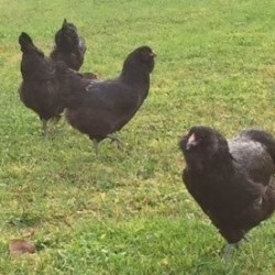 Black Ameraucana Chicks for Sale