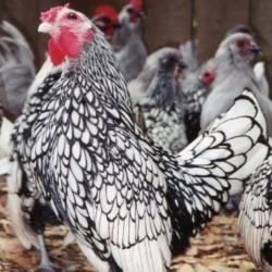 Silver Sebright Bantam Chickens