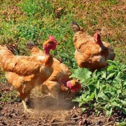 Turken (Naked Neck) Chicks for Sale