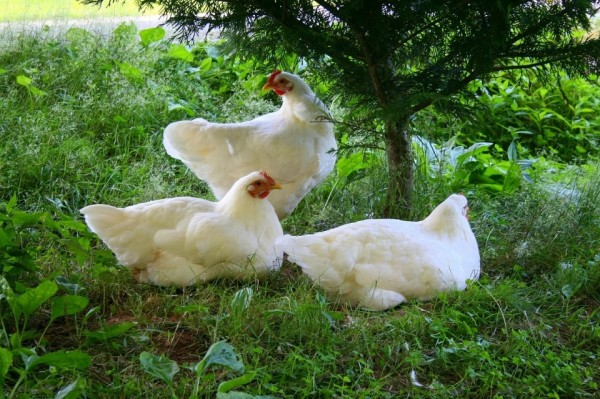 White Plymouth Rock Baby Chicks for Sale