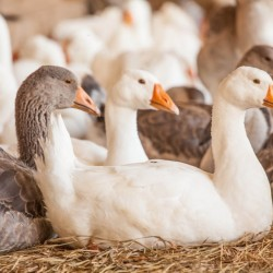 Hatchery Choice Assorted Geese