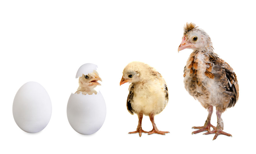 Chicken Growth Stages: How Chickens Grow Throughout Their Lives