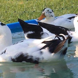 Ancona Ducks for Sale