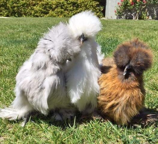 Assorted Silkie Chickens