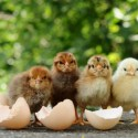 How to Incubate Chicken Eggs