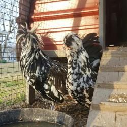 Mottled Houdan Chicken