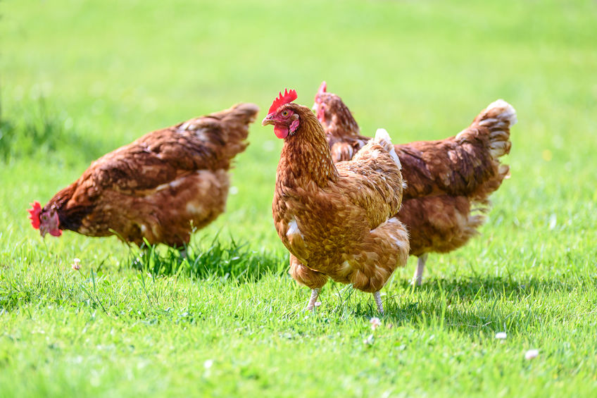 How to Stop Your Chickens From Eating Eggs